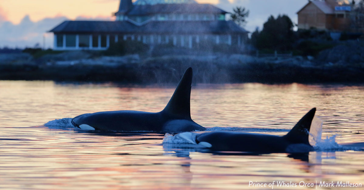 Two orca whales swimming side by side - Prince of Whales.