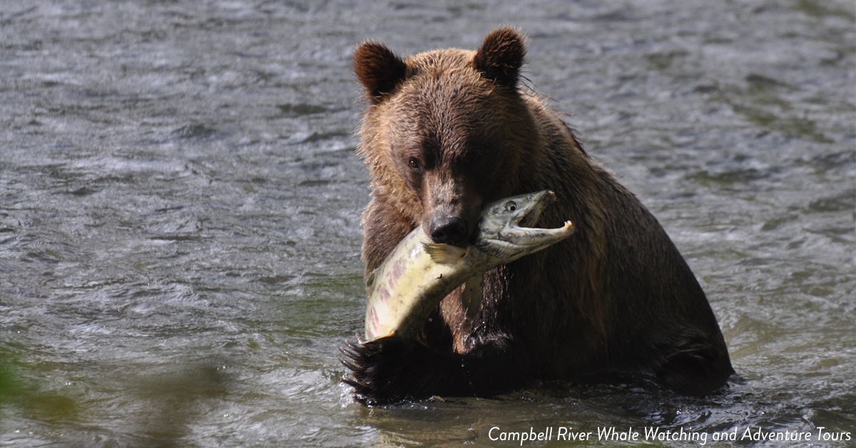 Bear catching a fish at Campbell River.